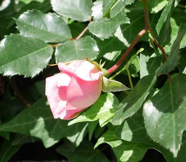 フランソワ・ジュランヴィル(ツルバラ)の花が少し咲いた。2018年-4.jpg