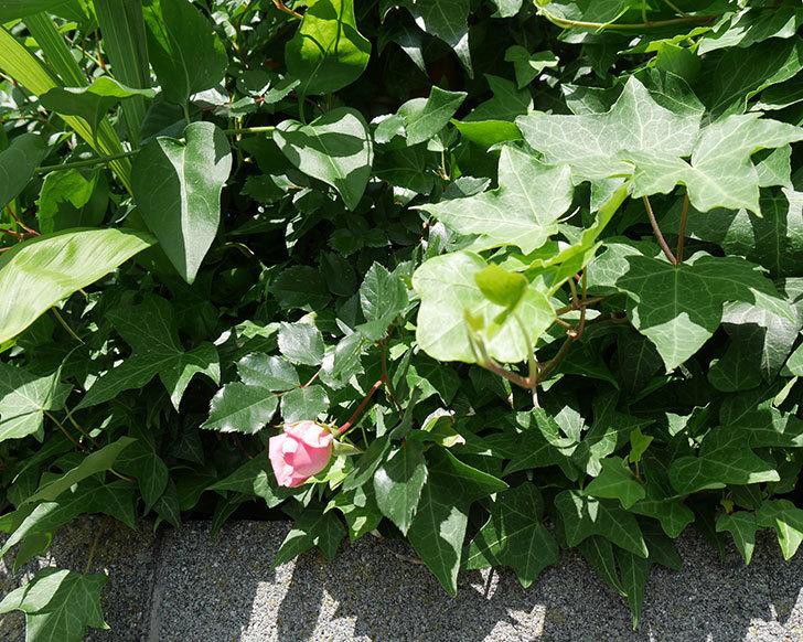 フランソワ・ジュランヴィル(ツルバラ)の花が少し咲いた。2018年-5.jpg