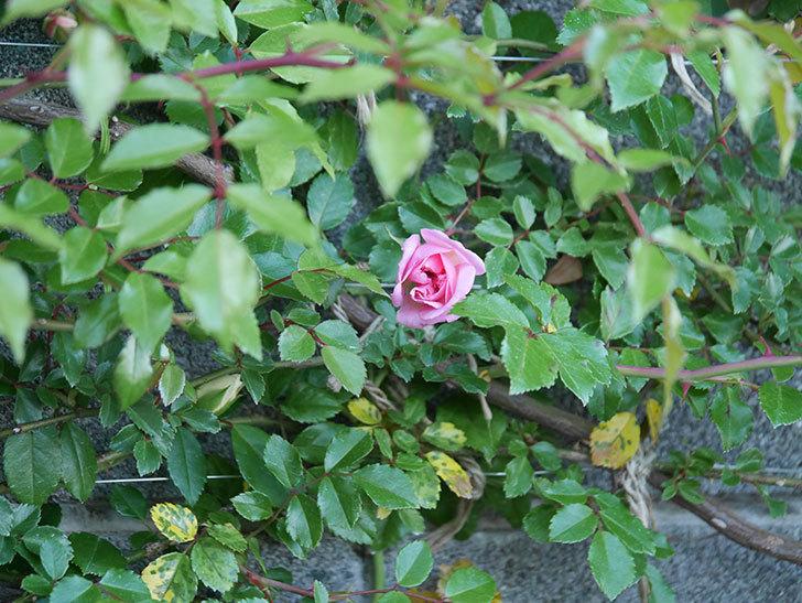 フランソワ・ジュランヴィル(ツルバラ)の花が少し咲いた。2020年-2.jpg