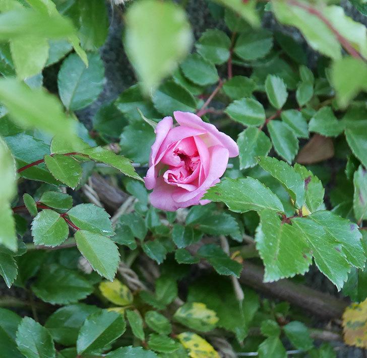 フランソワ・ジュランヴィル(ツルバラ)の花が少し咲いた。2020年-3.jpg