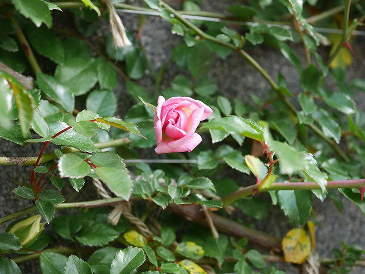 フランソワ・ジュランヴィル(ツルバラ)の花が少し咲いた。2020年-4.jpg