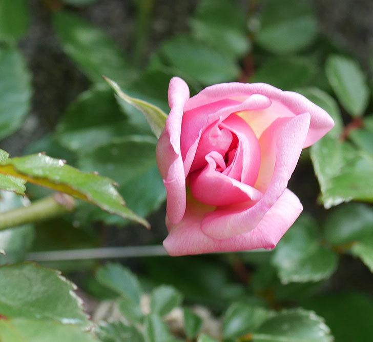 フランソワ・ジュランヴィル(ツルバラ)の花が少し咲いた。2020年-5.jpg