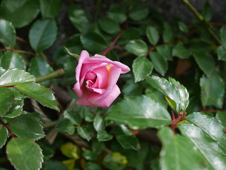 フランソワ・ジュランヴィル(ツルバラ)の花が少し咲いた。2020年-6.jpg