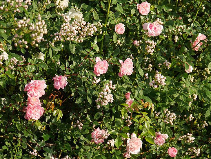 フランソワ・ジュランヴィル(ツルバラ)の花が満開になった。2020年-002.jpg