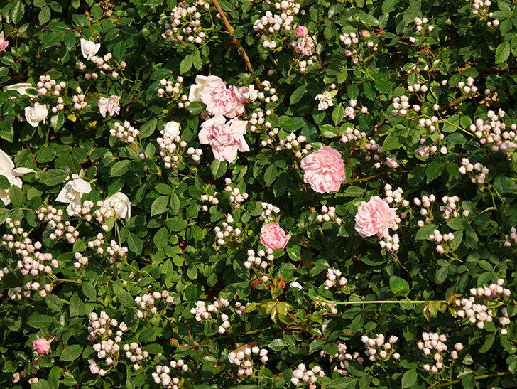 フランソワ・ジュランヴィル(ツルバラ)の花が満開になった。2020年-003.jpg