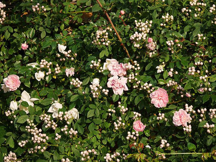 フランソワ・ジュランヴィル(ツルバラ)の花が満開になった。2020年-004.jpg