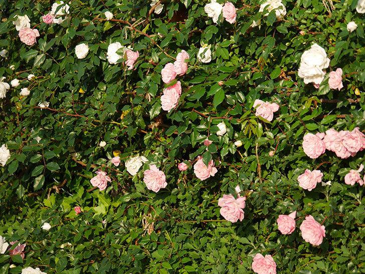 フランソワ・ジュランヴィル(ツルバラ)の花が満開になった。2020年-005.jpg
