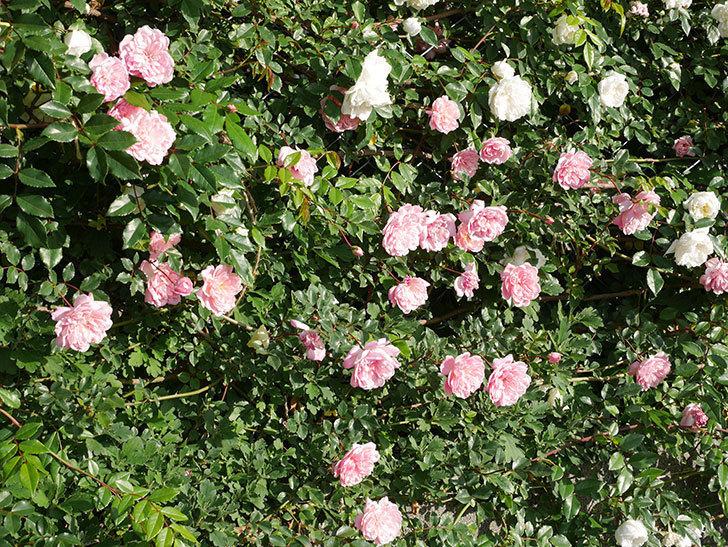 フランソワ・ジュランヴィル(ツルバラ)の花が満開になった。2020年-006.jpg