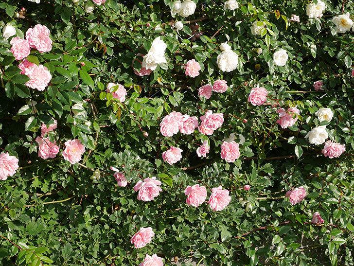 フランソワ・ジュランヴィル(ツルバラ)の花が満開になった。2020年-007.jpg