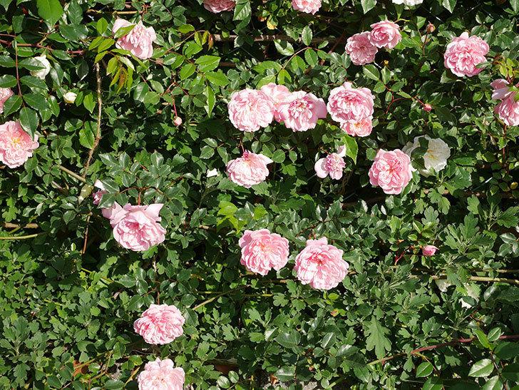 フランソワ・ジュランヴィル(ツルバラ)の花が満開になった。2020年-010.jpg