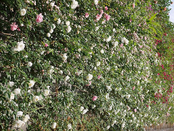 フランソワ・ジュランヴィル(ツルバラ)の花が満開になった。2020年-012.jpg