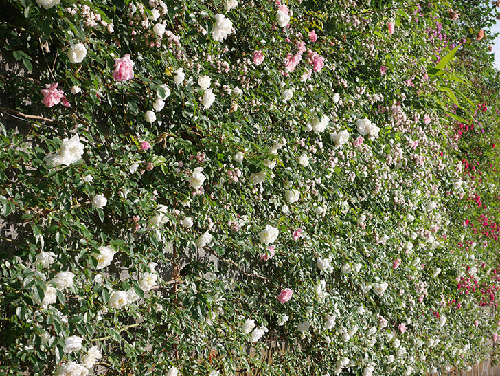 フランソワ・ジュランヴィル(ツルバラ)の花が満開になった。2020年-013.jpg