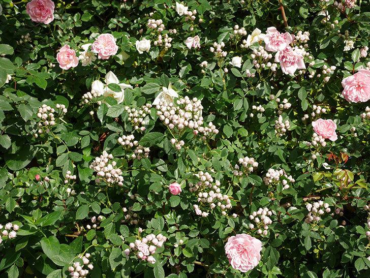 フランソワ・ジュランヴィル(ツルバラ)の花が満開になった。2020年-014.jpg