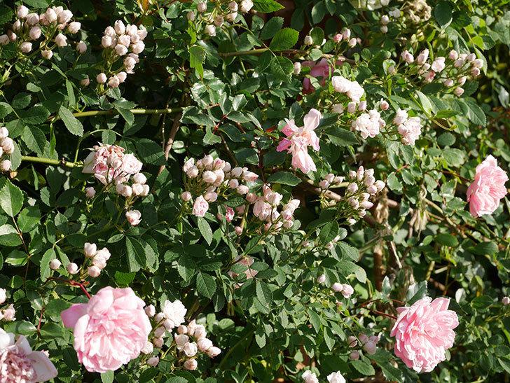 フランソワ・ジュランヴィル(ツルバラ)の花が満開になった。2020年-015.jpg
