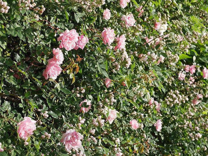 フランソワ・ジュランヴィル(ツルバラ)の花が満開になった。2020年-016.jpg