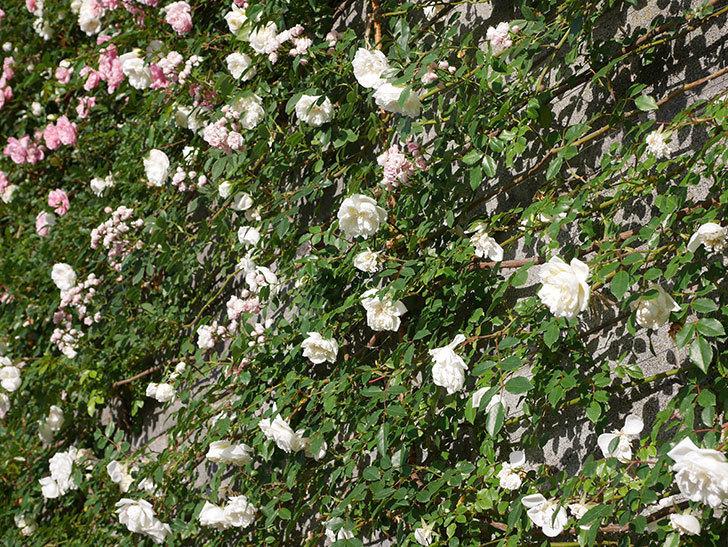 フランソワ・ジュランヴィル(ツルバラ)の花が満開になった。2020年-018.jpg