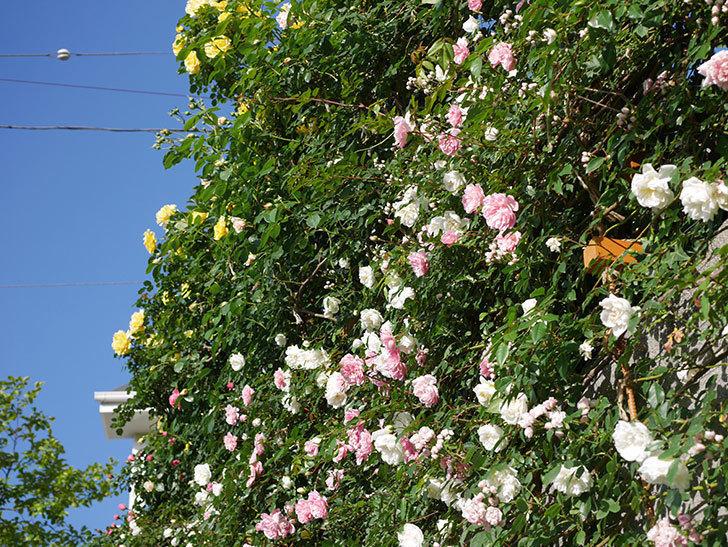 フランソワ・ジュランヴィル(ツルバラ)の花が満開になった。2020年-019.jpg