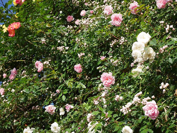 フランソワ・ジュランヴィル(ツルバラ)の花が満開になった。2020年-020.jpg