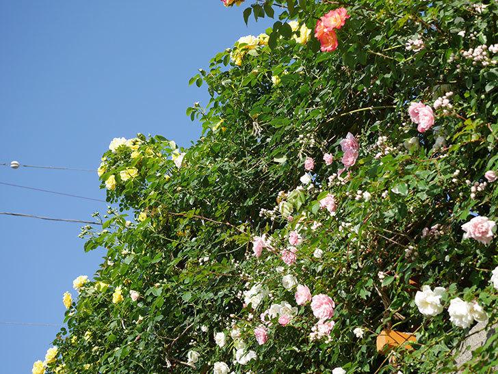 フランソワ・ジュランヴィル(ツルバラ)の花が満開になった。2020年-021.jpg