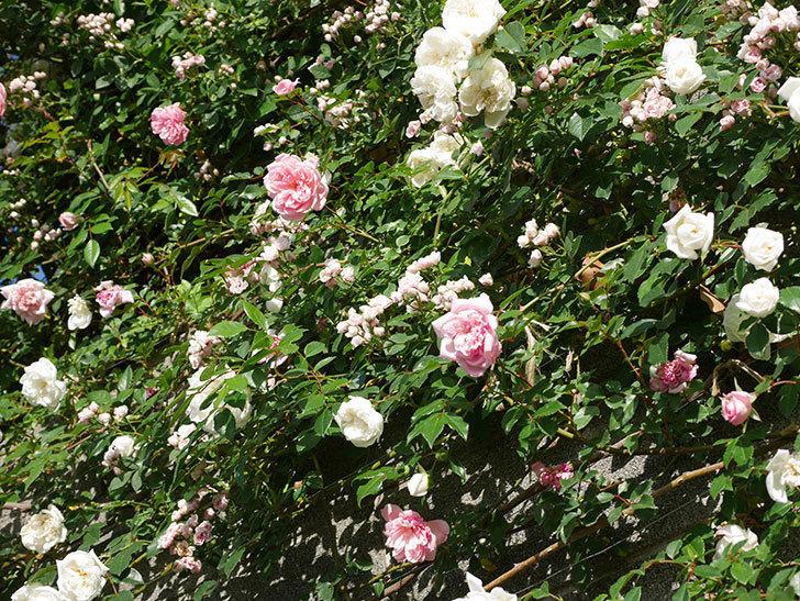 フランソワ・ジュランヴィル(ツルバラ)の花が満開になった。2020年-022.jpg