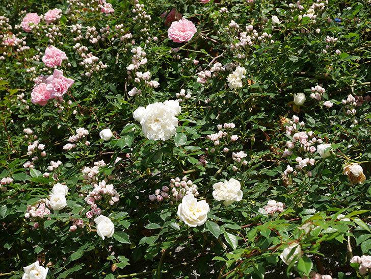 フランソワ・ジュランヴィル(ツルバラ)の花が満開になった。2020年-023.jpg