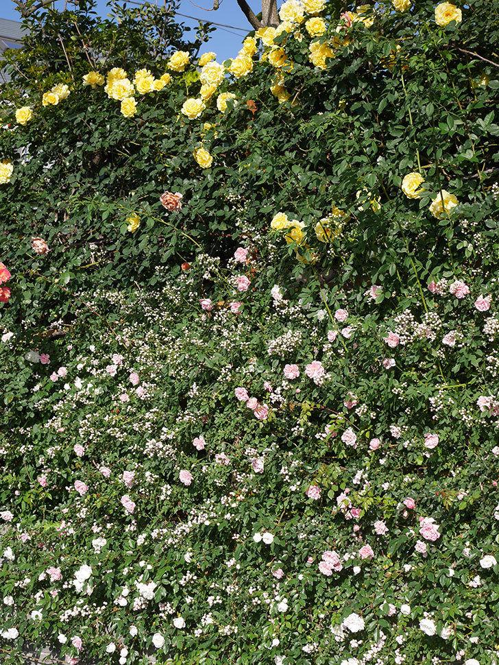フランソワ・ジュランヴィル(ツルバラ)の花が満開になった。2020年-024.jpg