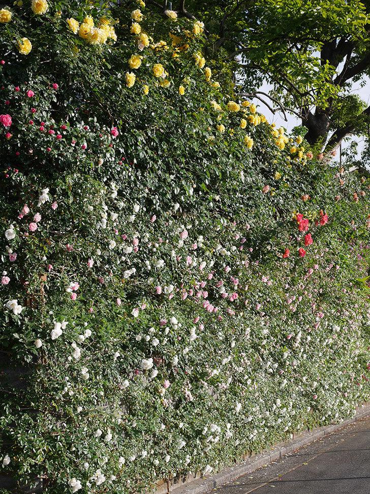 フランソワ・ジュランヴィル(ツルバラ)の花が満開になった。2020年-026.jpg
