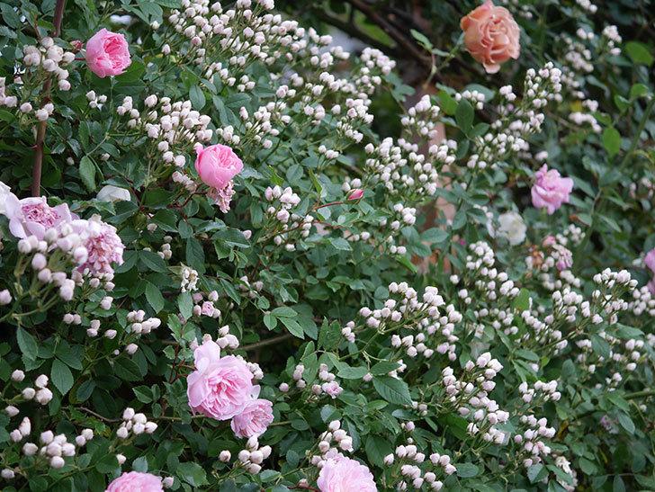 フランソワ・ジュランヴィル(ツルバラ)の花が満開になった。2020年-027.jpg