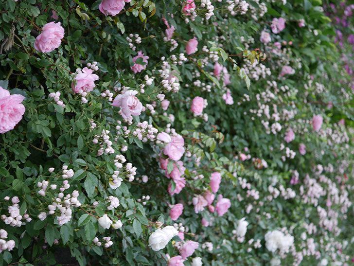 フランソワ・ジュランヴィル(ツルバラ)の花が満開になった。2020年-028.jpg