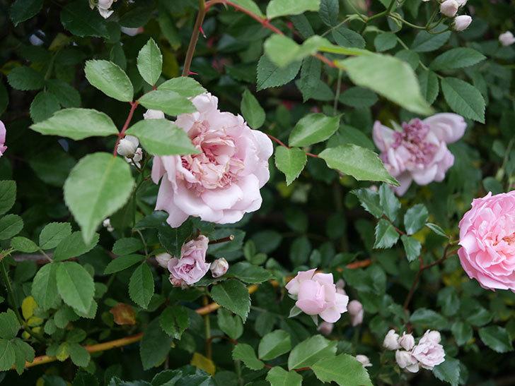 フランソワ・ジュランヴィル(ツルバラ)の花が満開になった。2020年-029.jpg