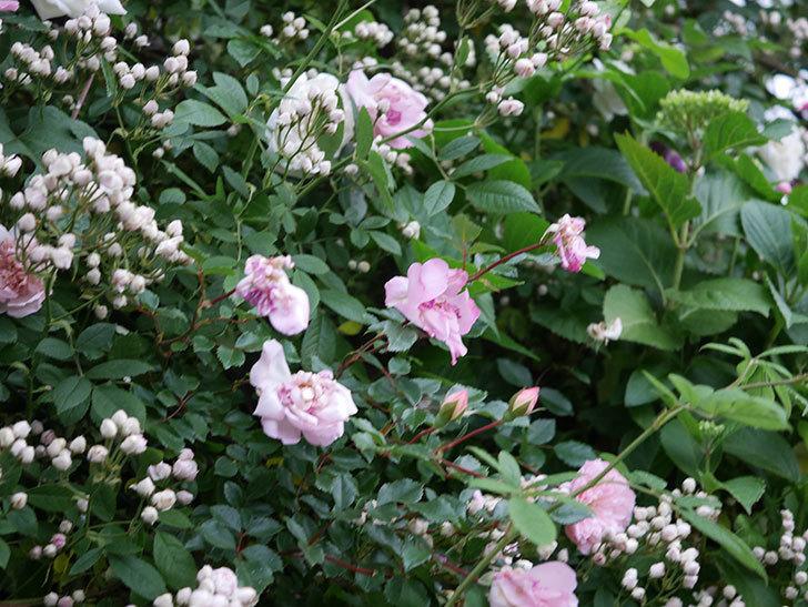 フランソワ・ジュランヴィル(ツルバラ)の花が満開になった。2020年-030.jpg