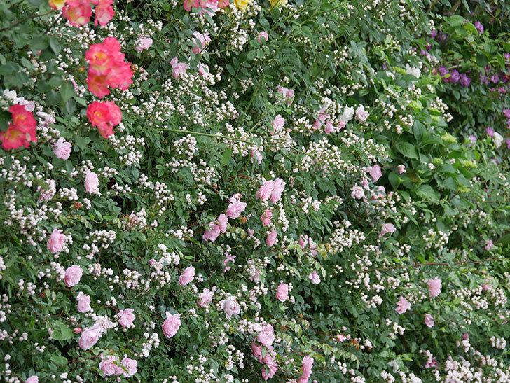 フランソワ・ジュランヴィル(ツルバラ)の花が満開になった。2020年-031.jpg