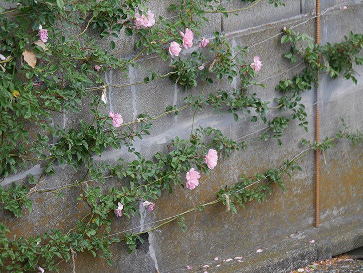 フランソワ・ジュランヴィル(ツルバラ)の花が満開になった。2020年-032.jpg