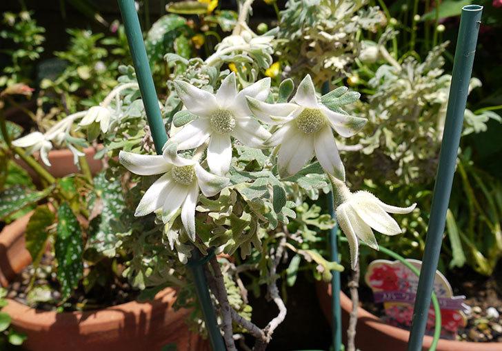 フランネルフラワー-フェアリーホワイトが咲いた1.jpg