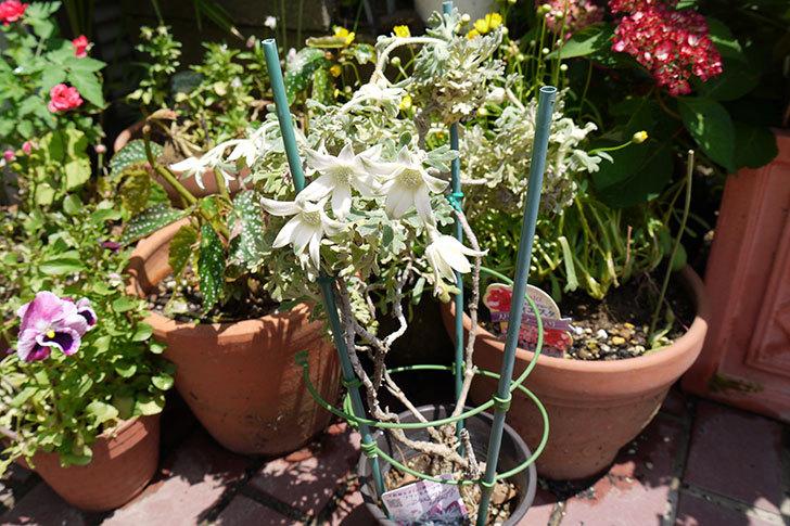 フランネルフラワー-フェアリーホワイトが咲いた2.jpg