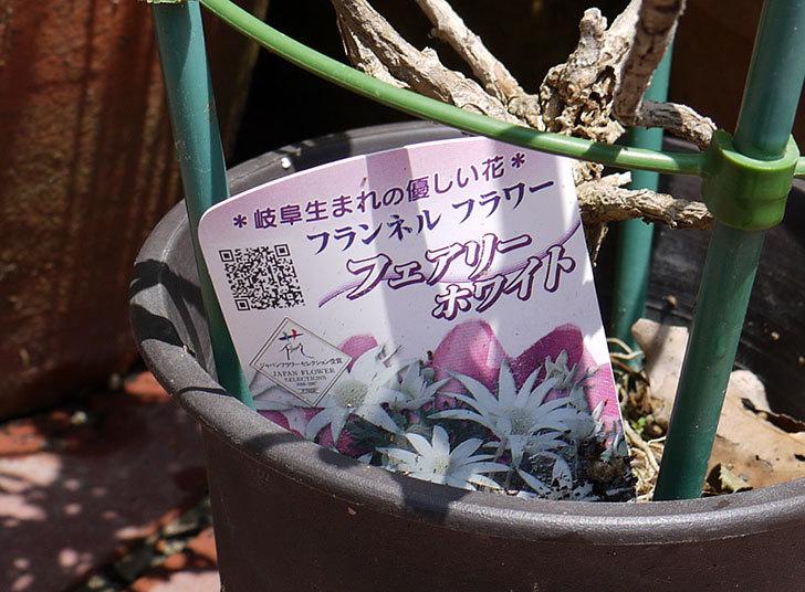 フランネルフラワー-フェアリーホワイトが咲いた4.jpg