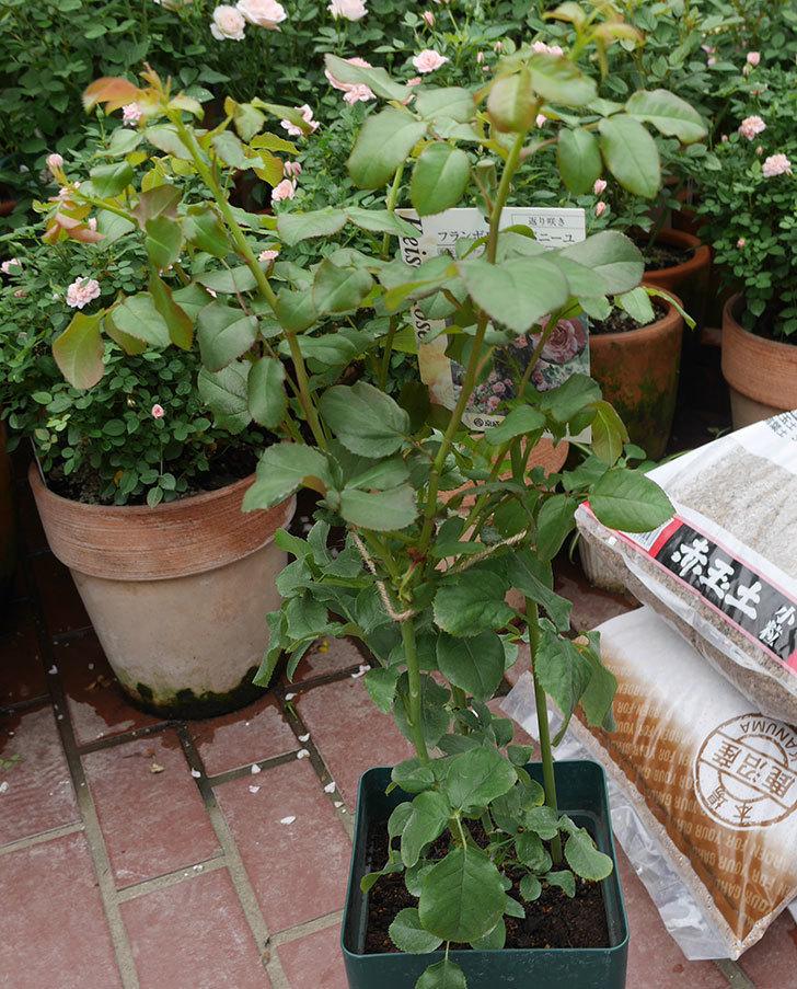 フランボワーズ-バニーユ(ツルバラ)の新苗を楽天のバラの家で買った。2019年-1.jpg
