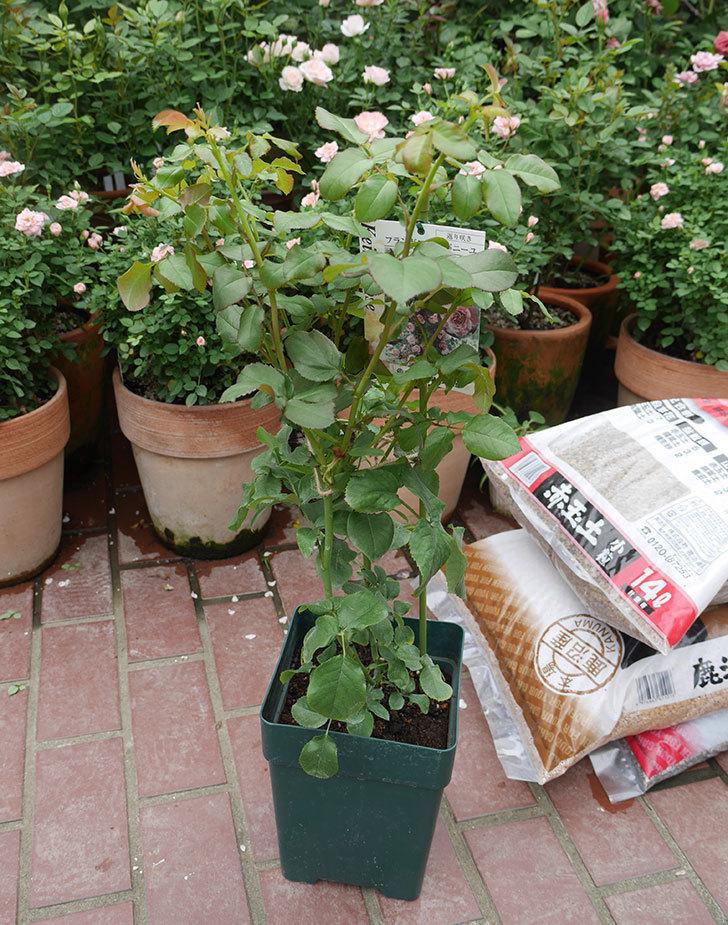 フランボワーズ-バニーユ(ツルバラ)の新苗を楽天のバラの家で買った。2019年-2.jpg