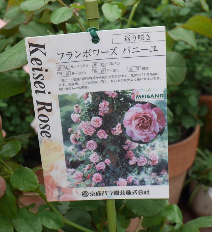 フランボワーズ-バニーユ(ツルバラ)の新苗を楽天のバラの家で買った。2019年-3.jpg