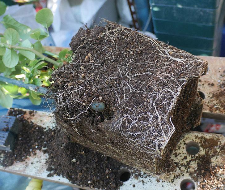 フランボワーズ-バニーユ(ツルバラ)の新苗を鉢増しした。2019年-4.jpg