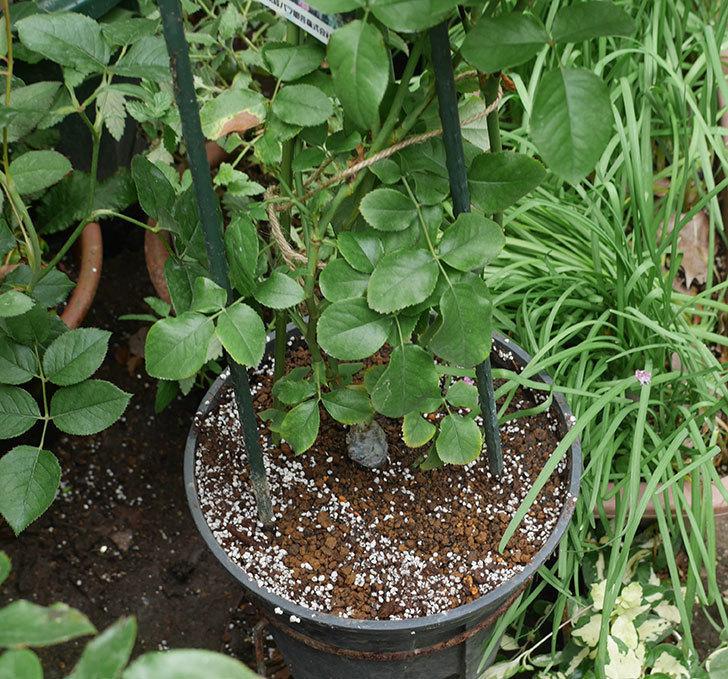 フランボワーズ-バニーユ(ツルバラ)の新苗を鉢増しした。2019年-6.jpg