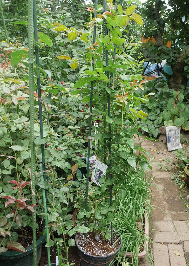 フランボワーズ-バニーユ(ツルバラ)の新苗を鉢増しした。2019年-7.jpg