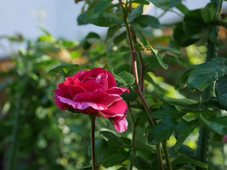 フランボワーズ-バニーユ(ツルバラ)の秋花が咲いた。2019年-2.jpg