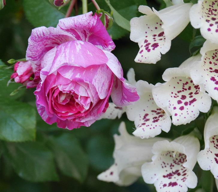フランボワーズ-バニーユ(ツルバラ)の花が咲いた。2020年-1.jpg