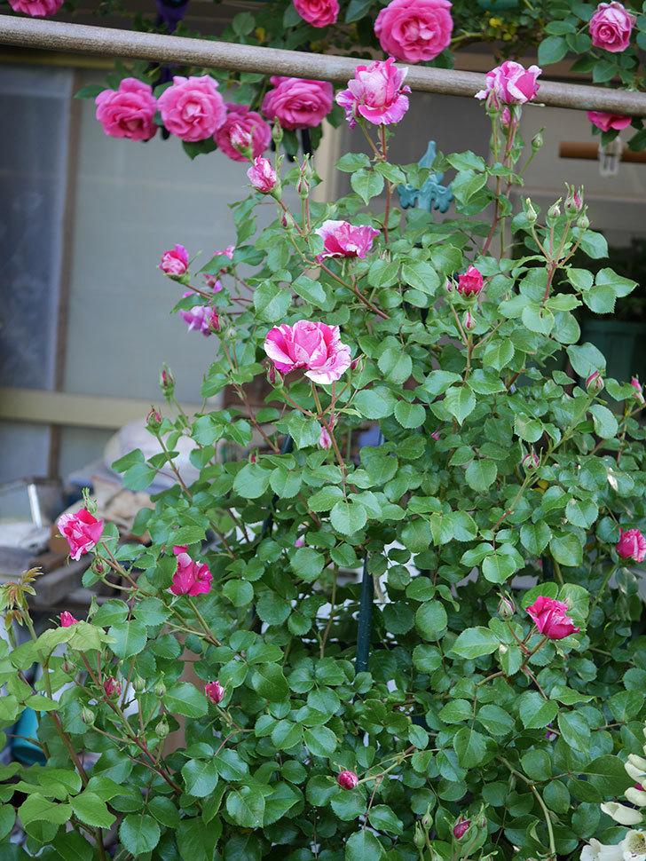 フランボワーズ-バニーユ(ツルバラ)の花が咲いた。2020年-10.jpg
