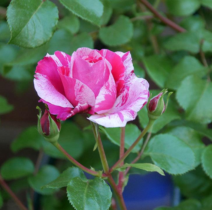 フランボワーズ-バニーユ(ツルバラ)の花が咲いた。2020年-2.jpg
