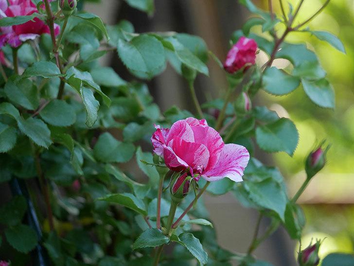 フランボワーズ-バニーユ(ツルバラ)の花が咲いた。2020年-5.jpg
