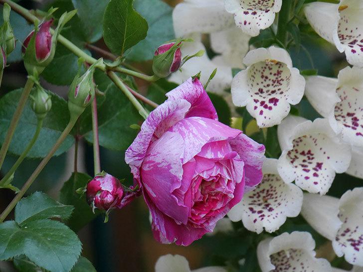 フランボワーズ-バニーユ(ツルバラ)の花が咲いた。2020年-6.jpg