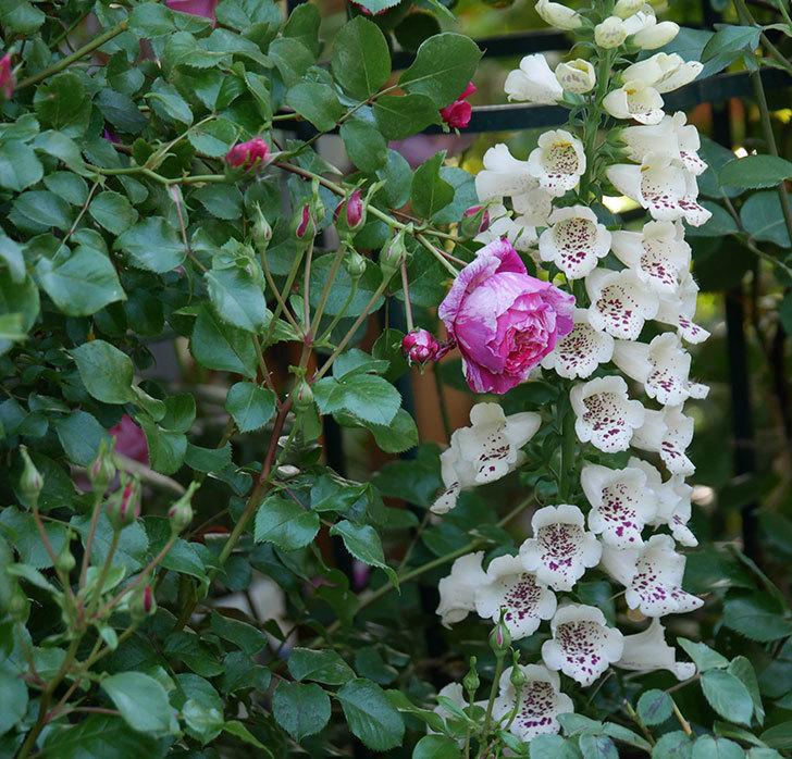 フランボワーズ-バニーユ(ツルバラ)の花が咲いた。2020年-7.jpg