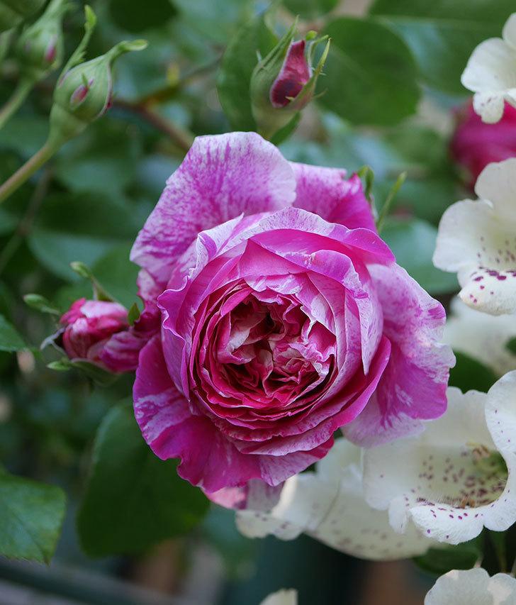 フランボワーズ-バニーユ(ツルバラ)の花が咲いた。2020年-8.jpg